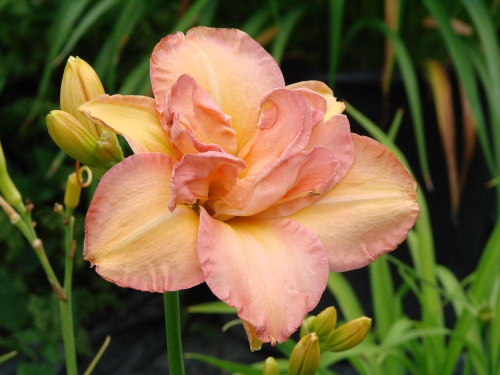 Photo of Daylily (Hemerocallis 'Two Tone Taffy') uploaded by Joy