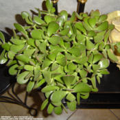 Location: KansasDate: 2014-06-29Indoor plant