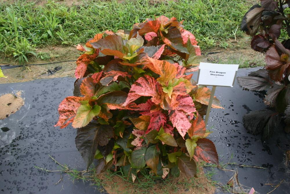 Photo Of The Entire Plant Of Copperleaf Acalypha Wilkesiana Dragon