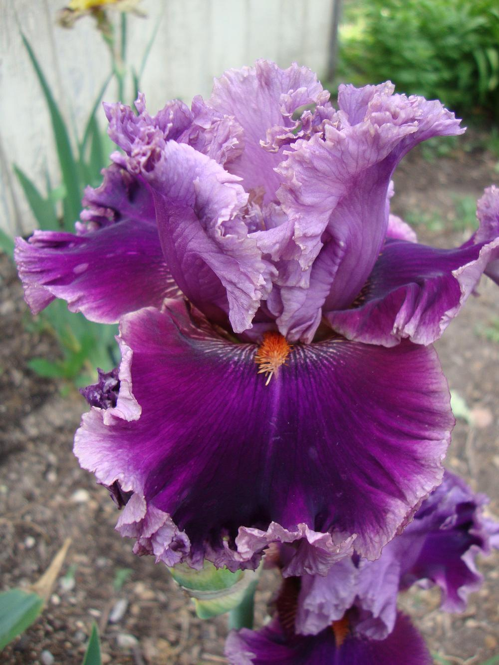 Photo Of The Bloom Of Tall Bearded Iris Iris Another -5373