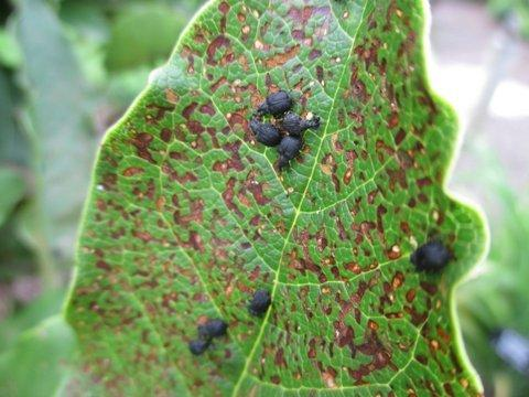 Pests And Diseases Forum Magnolia Weevil Id Gardenorg