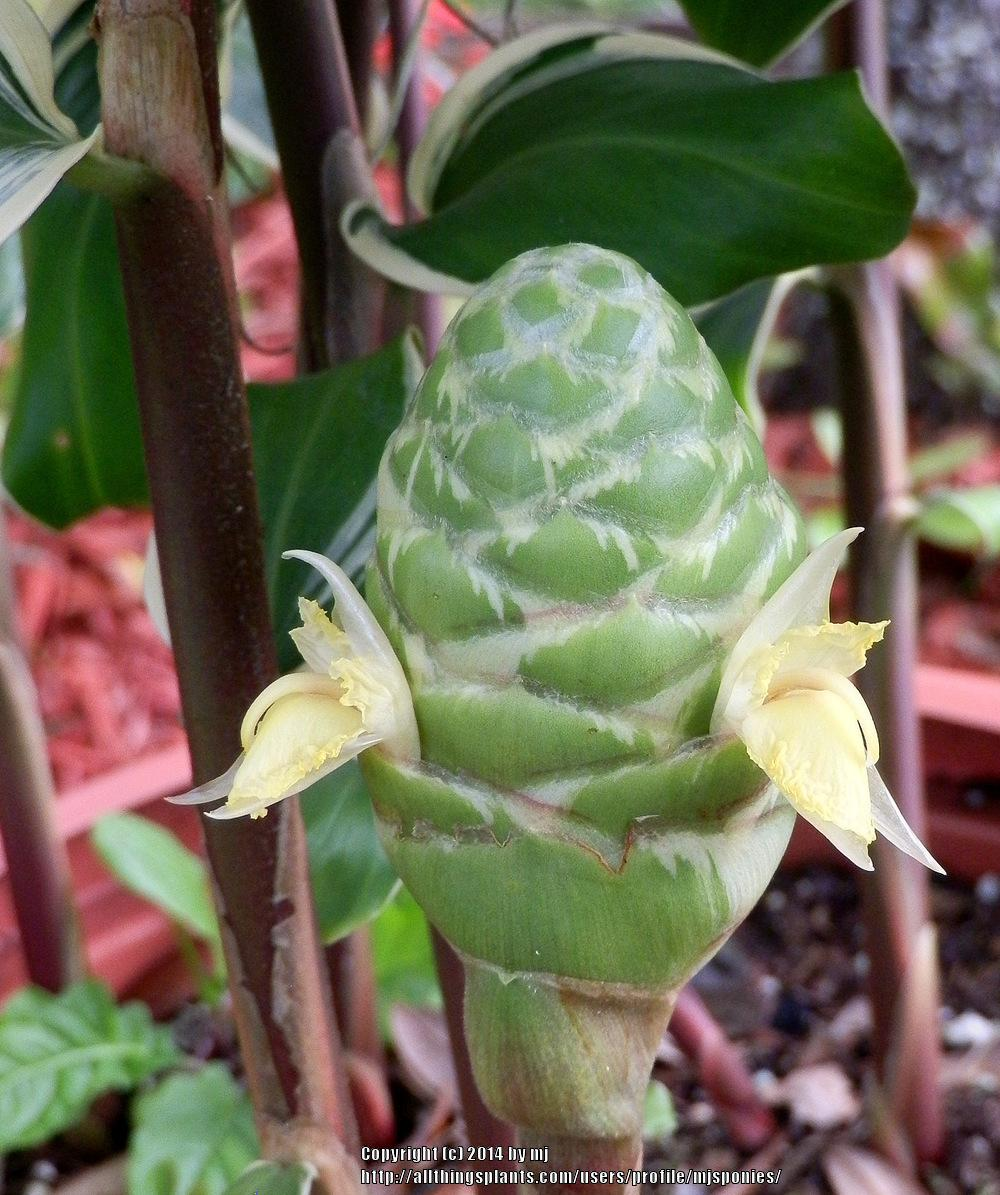 Photo of Variegated Pinecone Ginger (Zingiber zerumbet 'Darceyi') uploaded by mjsponies