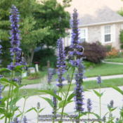 Location: My garden in Northern KYDate: 2014-06-30Bees love this Agastache! #Pollination