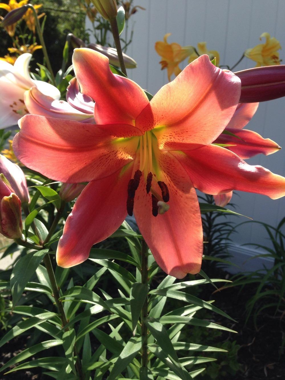 Photo of Lily (Lilium 'Kiss of Fire') uploaded by Joebass