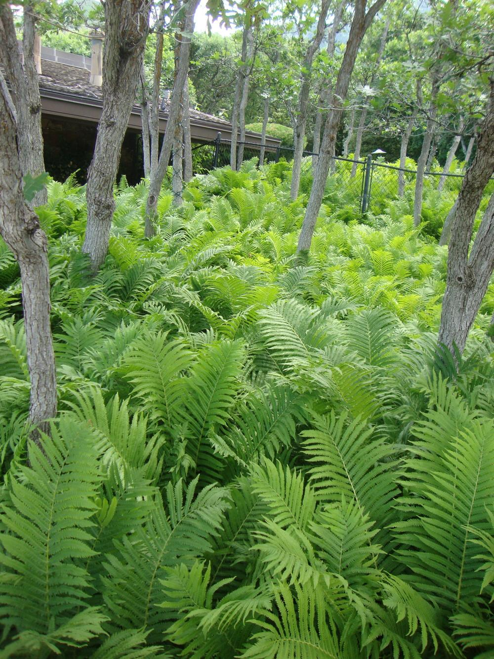 Photo of Ostrich Fern (Matteuccia struthiopteris) uploaded by Paul2032