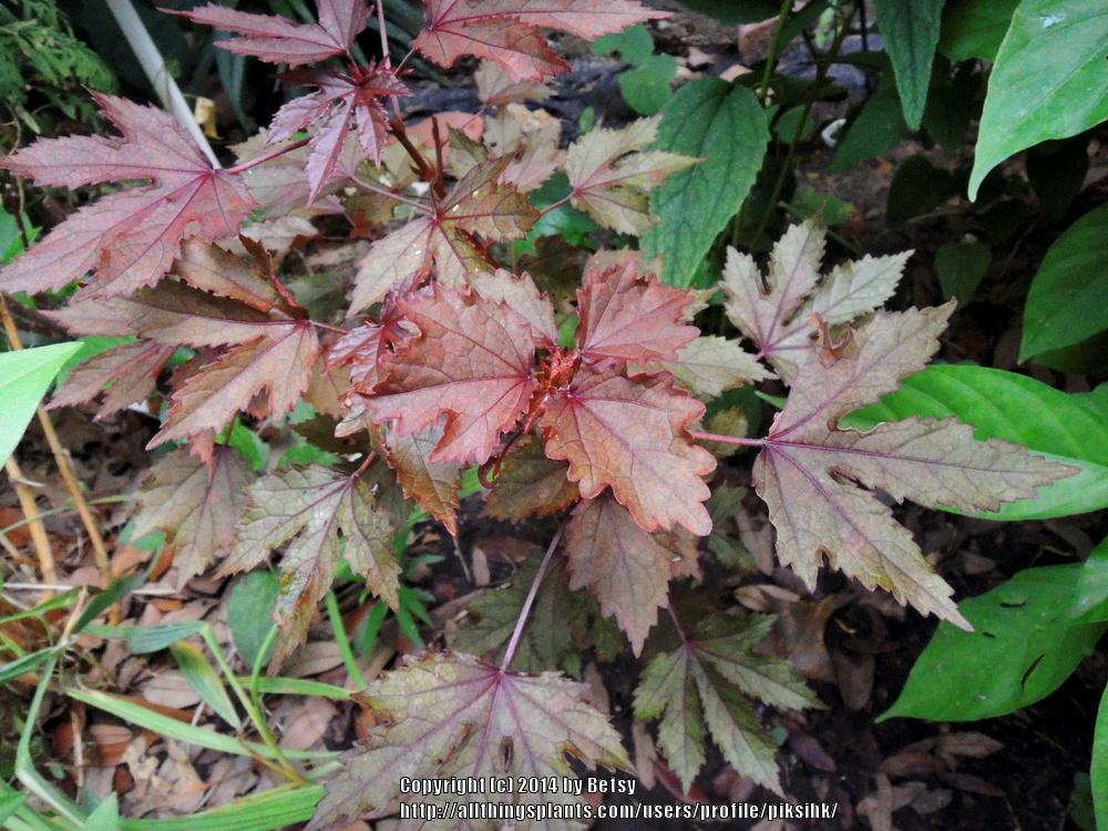 Photo Of The Leaves Of Red Leaf Hibiscus Hibiscus Acetosella Red