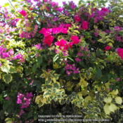 Location: Hidden Hills CA zone 10bDate: 2014-07-042 different Bougainvilleas  - very different leaves