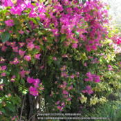 Location: Hidden Hills CA zone 10bDate: 2014-07-04Mixed Bougainvillea - approximately 10 years old, trimm
