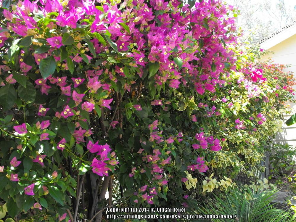 Photo of Bougainvilleas (Bougainvillea) uploaded by OldGardener
