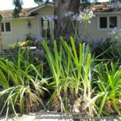"Location: Hidden Hills CA zone 10bDate: 2014-07-04Foliage approximately 36"" tall - with blooms, 4.5-5 fee"