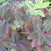 Location: Middle TennesseeDate: 2014-07-05Light upper leaves are another sedum variety
