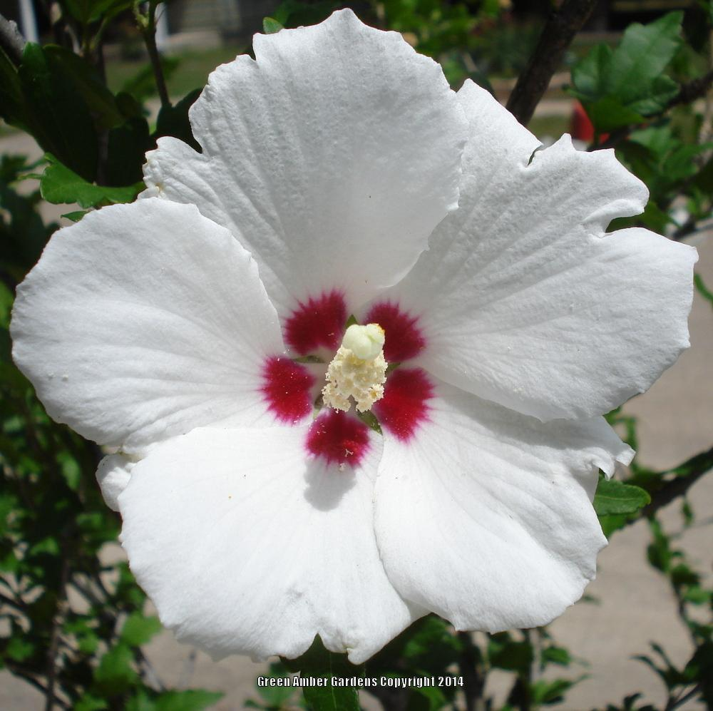 Photo of Roses of Sharon (Hibiscus syriacus) uploaded by lovemyhouse