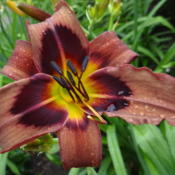 Location: Lincoln NE zone 5Date: 2014-07-05On a cool July morning this daylily looked very brown.
