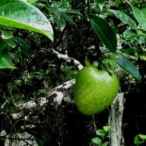 Pond Apple, Gator Apple, Monkey Apple is a favorite treat of the