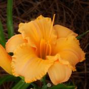 Location: homeDate: 2014-07-06Great form on every bloom!  It's a bit more orange, the