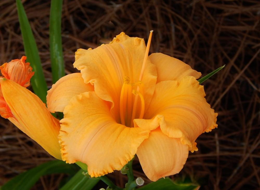 Photo of Daylily (Hemerocallis 'Pure and Simple') uploaded by SheilaC