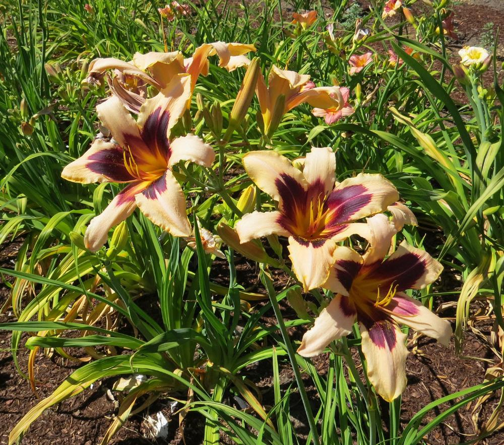 Photo of Daylily (Hemerocallis 'Wild Horses') uploaded by Natalie
