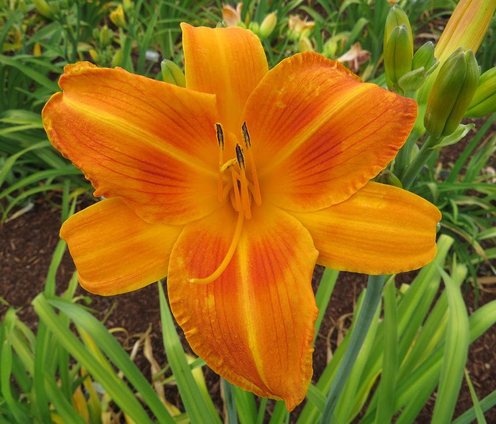 Photo of Daylily (Hemerocallis 'Rocket City') uploaded by Natalie