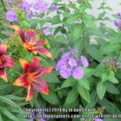 Location: SunZone 6aDate: 2014-07-08These flowers start blue in the morning, as the sunlight intensif