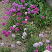 Location: Southeastern NHDate: June 21, 2014Grown from seed labeled Armeria x formosa 'Joystick Ser