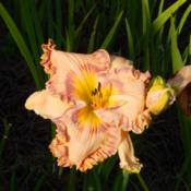 Location: homeDate: 2014-07-08Flowers are an overall peach tone with bi-colored ruffle and matc