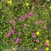 Location: Gent, BelgiumDate: 2014-06-20Along the road, with other wildflowers.