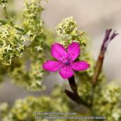 Location: Gent, BelgiumDate: 2014-06-21Along the road, together with Galium verum