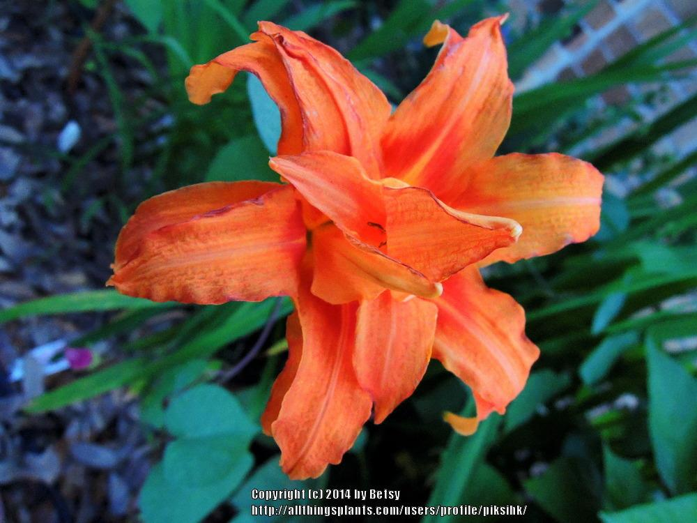 Photo of Daylily (Hemerocallis fulva 'Kwanso') uploaded by piksihk