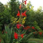 Location: all photos from my gardenDate: 2014-07-09Tall Form