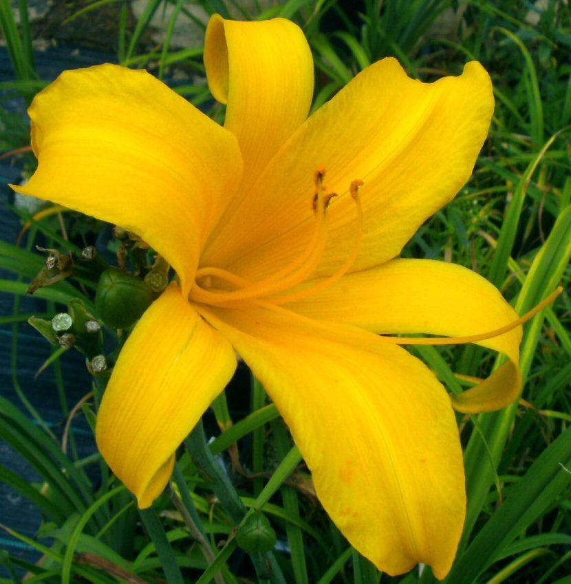 Photo of Daylily (Hemerocallis 'Rainbow Towers') uploaded by Heart2Heart