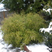 Location: Coastal WA Zone 8bDate: 2013-03-22After all the March snow had been brushed off, no harm had been d