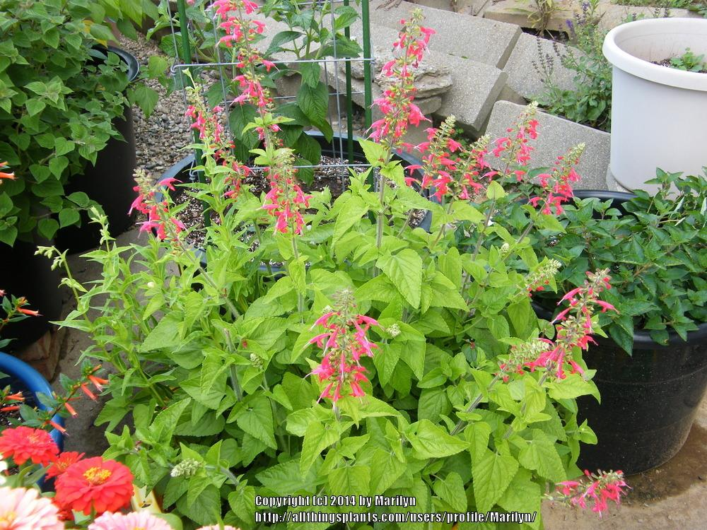 Photo of Scarlet Sage (Salvia coccinea 'Lady in Red') uploaded by Marilyn