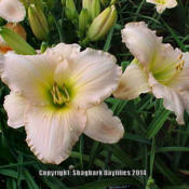 Location: Central Ohio, zone 5/6Date: 1999-07-06© Shagbark Daylilies