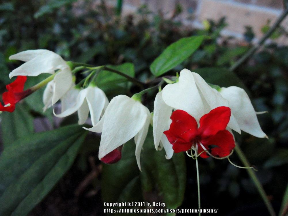 Photo of Bleeding Heart (Clerodendrum thomsoniae) uploaded by piksihk