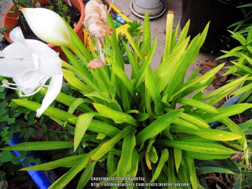 Photo of St.Christopher Lily (Crinum jagus) uploaded by piksihk