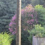 Location: Middle TennesseeDate: 2014-07-13Beautiful specimen in the yard across the street