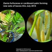 Location: At our garden - San Joaquin County, CADate: July 2014 - SummerFormation of new leaves for Zamia furfuracea