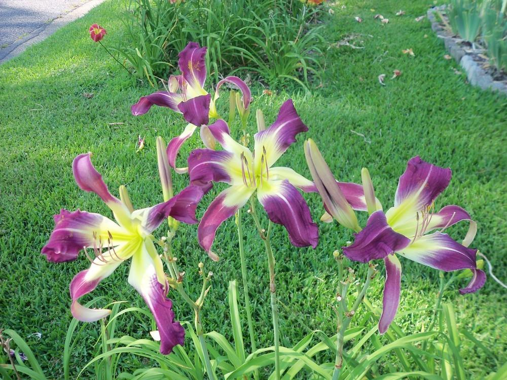 Photo of Daylilies (Hemerocallis) uploaded by virginiarose