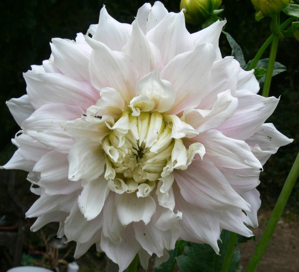 Photo of Dahlias (Dahlia) uploaded by janwax