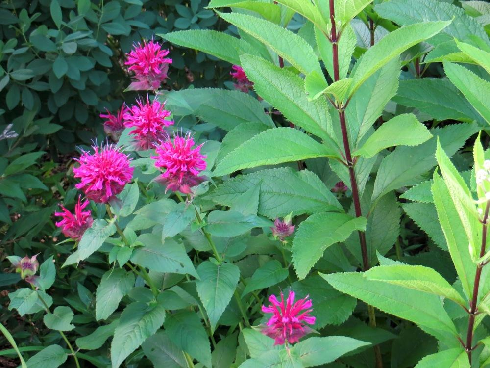 Photo of Bee Balm (Monarda didyma 'Raspberry Wine') uploaded by foraygardengirl