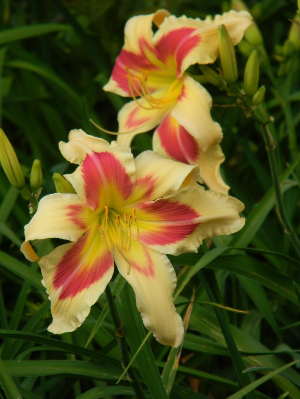 Photo of Daylily (Hemerocallis 'Patricia Snider Memorial') uploaded by mattsmom