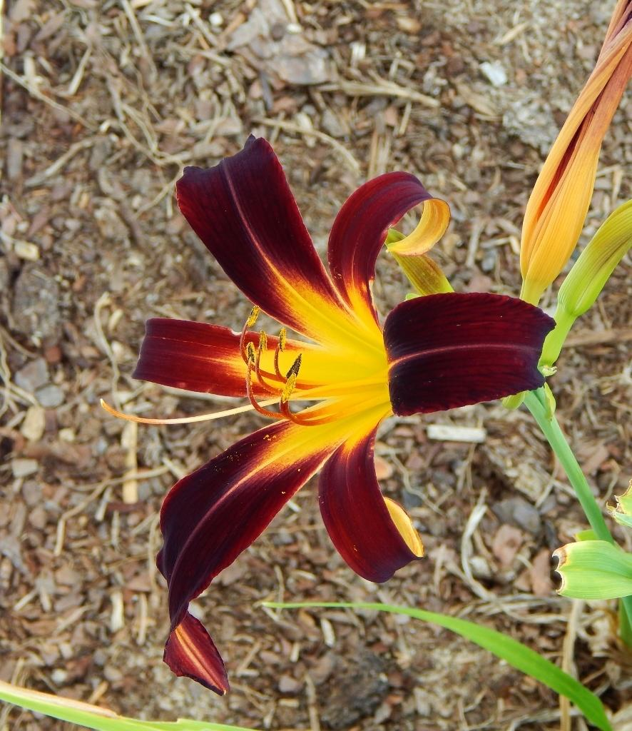 Photo of Daylily (Hemerocallis 'Black Plush') uploaded by SheilaC
