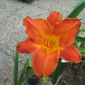 Location: Cincinnati, OhioDate: Summer of 2014Purchased from a daylily show in Northgate Mall (Cincin