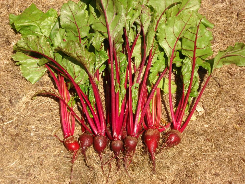 Beets: Plant Care and Collection of Varieties - Garden.org