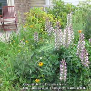Bears Breeches Acanthus Spinosus Gardenorg