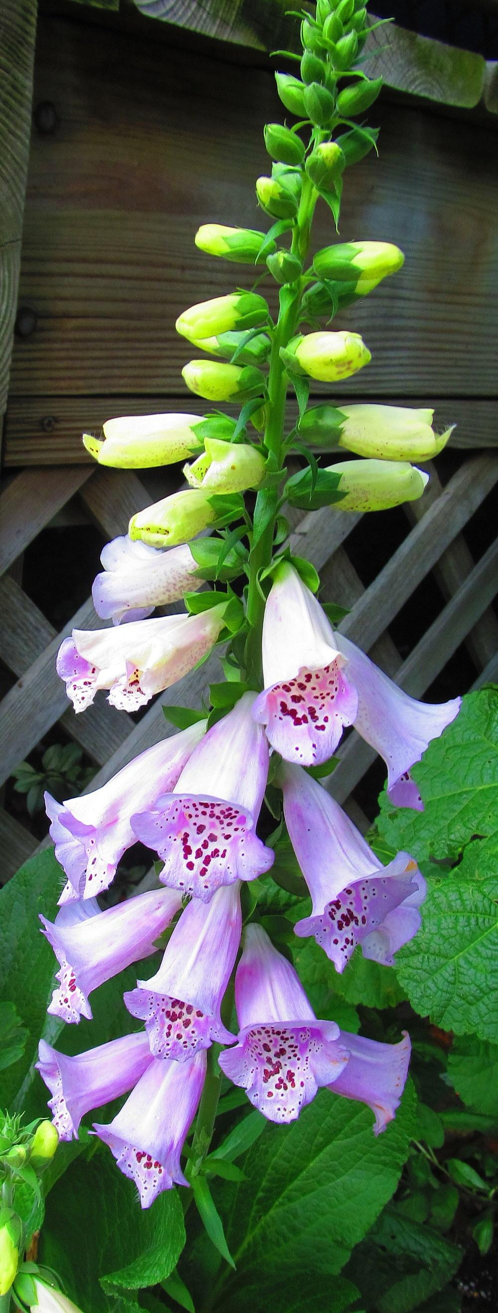 Foxgloves Plant Care And Collection Of Varieties Garden