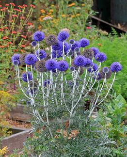 Image result for globe thistle