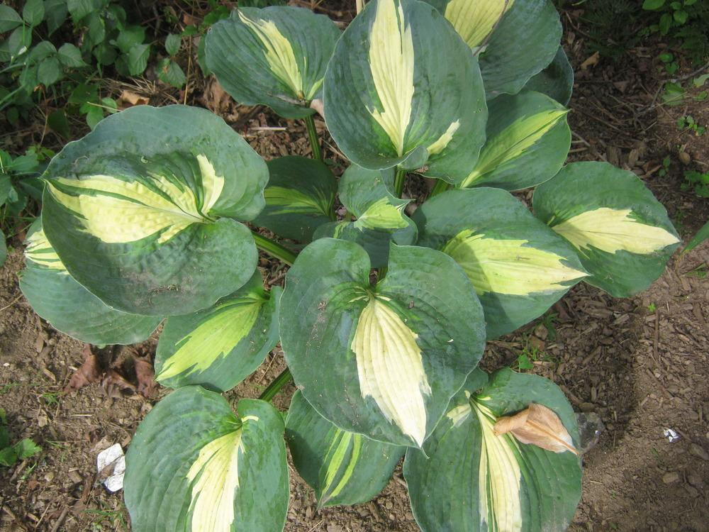 Photo Of The Entire Plant Of Hosta Dream Queen Posted By Robind