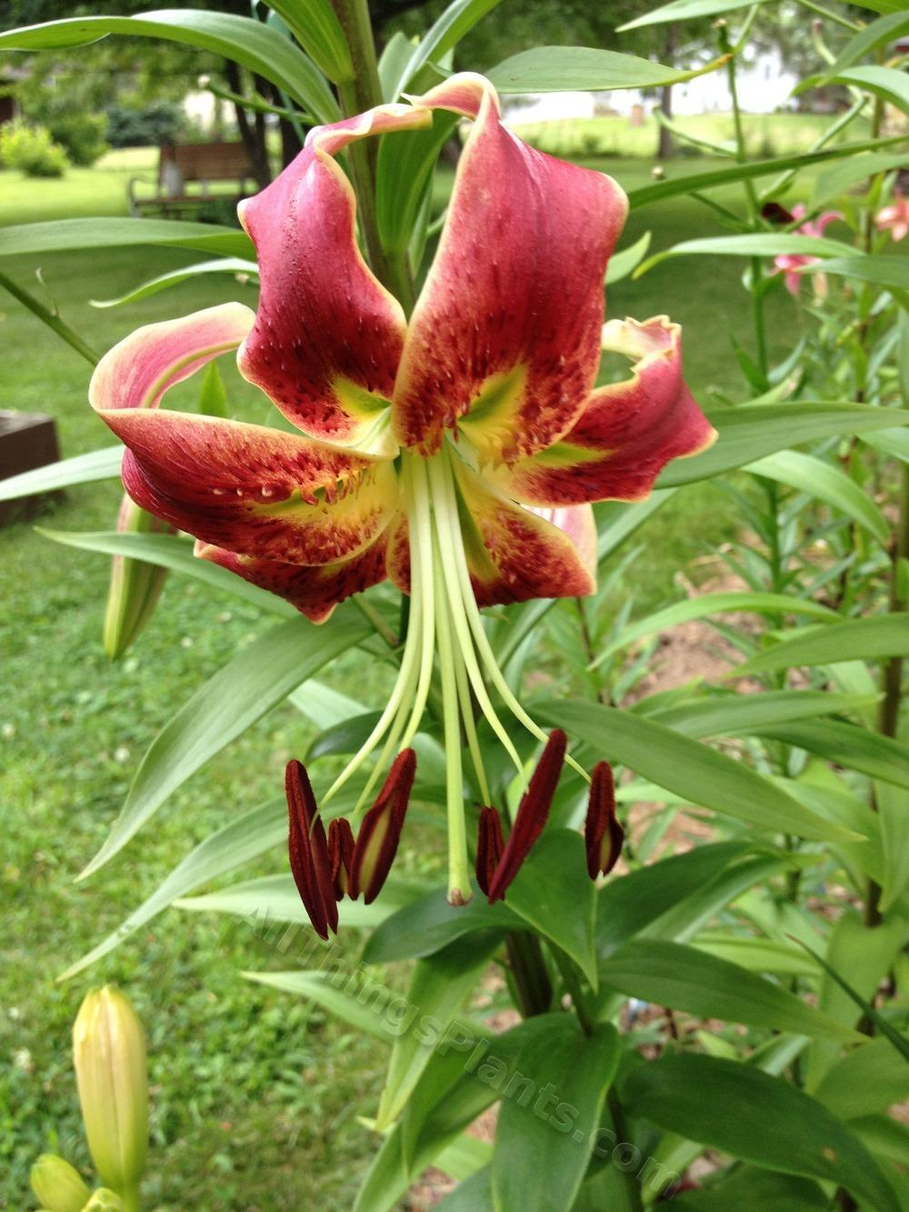 Photo of Lily (Lilium 'Dunyazade') uploaded by magnolialover