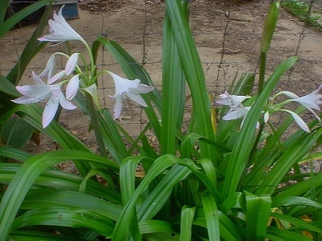 Photo of Crinum Lily (Crinum 'Summer Nocturne') uploaded by Kabby
